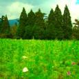 コスモス畑と林と空