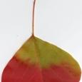落ち葉:赤と黄緑の葉っぱ