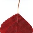 落ち葉:真っ赤な葉っぱ