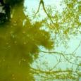 濁った湖面/木の影/葉っぱ