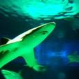 サメ:下から