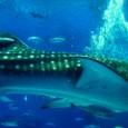 ジンベイザメの胴体とヒレ