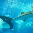 ジンベイザメのしっぽ
